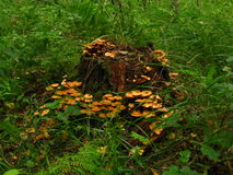 Honigpilz, der auf einem Stumpf wächst Lizenzfreie Stockfotos