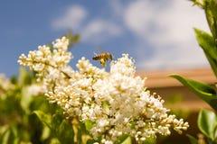 Honing bij-3 stock afbeeldingen