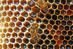 Honing in honingraten. Royalty-vrije Stock Afbeelding