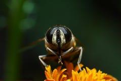 Honingbij stock afbeeldingen