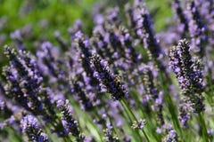 Honingbij bij de Lavendelbloei royalty-vrije stock foto's