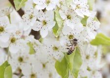 Honingbij in de witte bloemen van de kersenbloesem stock afbeelding