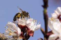 Honingbij die aan abrikozenbloem werken Stock Foto