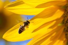 Honingbij die, de gele achtergrond van bloembloemblaadjes vliegen Macromeningszonnebloem en insect die nectar zoeken Zonnige de z Royalty-vrije Stock Foto's