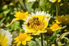 Honingbij die kustplatyglossa van Layia van tidytipswildflowers, Mori Point, Pacifica, Californië bestuiven stock fotografie