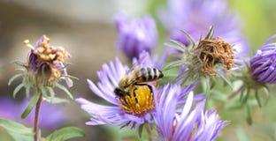 Honingbij die nectar van Asterbloem verzamelen Stock Foto's