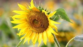 Honingbij die nectar van een zonnebloemgebied verzamelen stock videobeelden