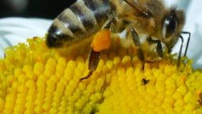 Honingbij die nectar verzamelt en stuifmeel op kamillebloem uitspreidt stock videobeelden