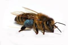 Honingbij die op Witte Achtergrond wordt geïsoleerde royalty-vrije stock fotografie