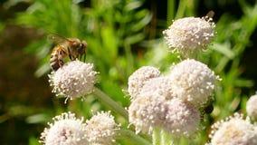 Honingbij die stuifmeel op een bloem verzamelen stock videobeelden