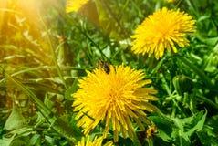 Honingbij die stuifmeel op een paardebloem verzamelen Stock Foto