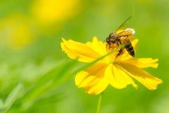 Honingbij die stuifmeel op gele kosmosbloem verzamelen stock afbeelding