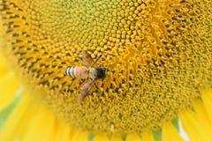 Honingbij die stuifmeel op zonnebloem verzamelen stock foto's