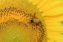 Honingbij die stuifmeel op zonnebloem verzamelen royalty-vrije stock fotografie