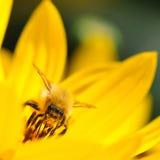 Honingbij die stuifmeel verzamelen Stock Foto