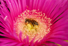 Honingbij die stuifmeel verzamelt Stock Foto's
