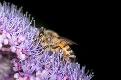 Honingbij die stuifmeel verzamelt Stock Afbeelding