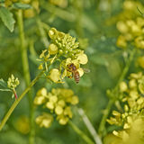 Honingbij die wilde bloemen bestuiven Stock Foto's
