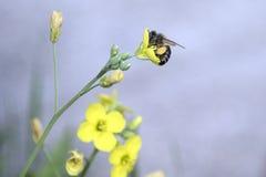 Honingbij in een boterbloem Stock Afbeeldingen