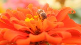 Honingbij in een oranje bloem van Zinnia stock video