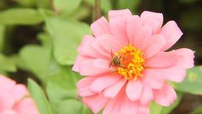 Honingbij in een roze bloem van Zinnia stock footage