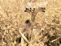 Honingbij in een Tuin in Colorado stock foto's