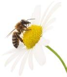 Honingbij en witte bloem Royalty-vrije Stock Afbeeldingen