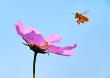 Honingbij het approching Stock Fotografie