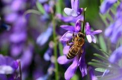 Honingbij het Bestuiven bloem Stock Fotografie