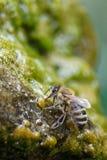 Honingbij het drinken bij goed stock fotografie