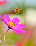 Honingbij het opstijgen Stock Foto's