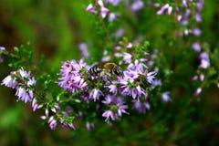 Honingbij het voeden op een purpere bloem Stock Afbeelding