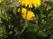 Honingbij naast bloem Royalty-vrije Stock Afbeeldingen