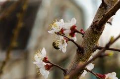 Honingbij op abrikozenbloemen Stock Afbeelding