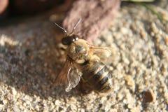 Honingbij op bestrating Stock Afbeeldingen