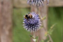 Honingbij op blauw allium Royalty-vrije Stock Afbeeldingen