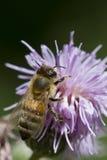 Honingbij op blauwe distel Royalty-vrije Stock Afbeelding