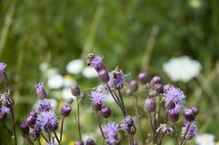 Honingbij op blauwe distelbloemen stock afbeeldingen