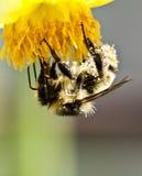 Honingbij op bloem Stock Afbeelding