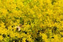 Honingbij op Citroen Coral Sedum Flowers stock afbeelding