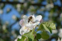 Honingbij op de bloem Royalty-vrije Stock Afbeeldingen