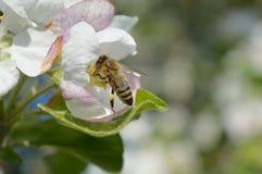 Honingbij op de bloem Stock Foto