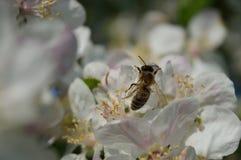 Honingbij op de bloem Stock Afbeelding