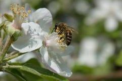 Honingbij op de bloem Stock Foto's