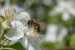 Honingbij op de bloem Royalty-vrije Stock Foto