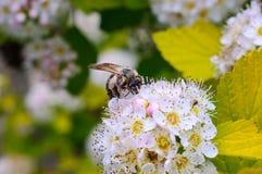 Honingbij op de witte bloem Stock Afbeelding