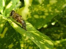 Honingbij op een blad Royalty-vrije Stock Foto's