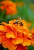 Honingbij op een bloem Stock Foto's