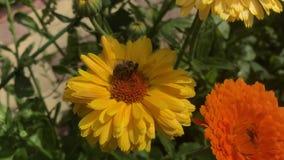 Honingbij op een gele bloem van calendula stock videobeelden