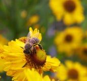 Honingbij op een gele zonbruid Stock Foto's